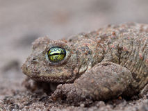 Epidalea calamita. Natterjack Toad with bright yellow eyes Royalty Free Stock Photography