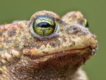Epidalea calamita, Natterjack Toad potrait. Amphibian Head with Green Background Stock Images