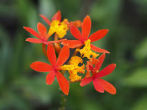 Epidendrum Obrazy Royalty Free