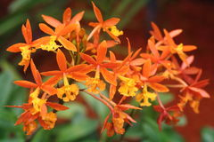Epidendrum Cinnabarinum Orchid. In full bloom after rain Royalty Free Stock Photos