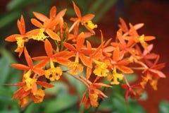 Epidendrum Cinnabarinum orchidea Zdjęcia Royalty Free