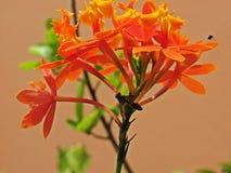 Epidendrum fulgens bestuiving Stock Afbeeldingen