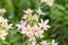 Epidendrum orchid or Pink Pearl orchid Stock Image