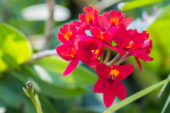 Epidendrum Orchid is a species of orchid are native to the tropi Stock Photography