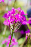 Epidendrum Orchid is a species of orchid. Stock Photos