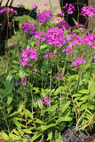 Epidendrum Orchid is a species of orchid. Stock Photo
