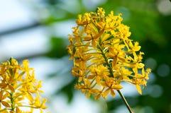 Epidendrum Xanthinum de fleur Image libre de droits