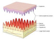 Epidermal dermal föreningspunkt för hud vektor illustrationer