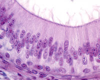 Epididymis. Pseudostratified columnar epithelium. Pseudostratified columnar epithelium of the epididymis. The epithelial cells show stereocilia in the apical stock image