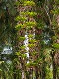 Epifity na koks drzewach Obrazy Royalty Free
