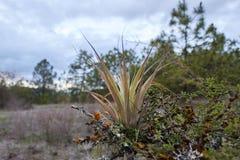 Epifityczna bromeliad roślina kiełkuje w gałąź farnesiana akacja obraz stock