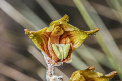 Epigeneium rotundatum från rainforest Royaltyfri Fotografi