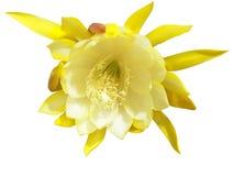 Epighyllum blomma Royaltyfri Fotografi