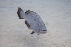 Epihephelus striatus Stock Photo