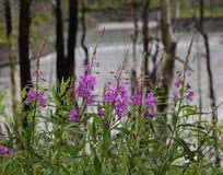 Epilobio Alaska fotografia stock