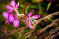 Epilobium ή ανθίζοντας λουλούδια της Sally ως υπόβαθρο φύσης Στοκ εικόνα με δικαίωμα ελεύθερης χρήσης