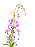 Epilobium angustifolium;. Epilobium angustifolium on a white background royalty free stock photo