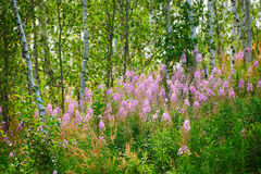 The epilobium angustifolium in the forest Royalty Free Stock Images