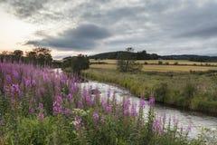 Epilobium angustifolium or Rosebay Willowherb on Riverbank in Scotland. Rosebay Willowherb Epilobium angustifolium on the River Deveron at Huntly in stock photo
