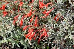 Epilobium canum 'Carmen's Grey', California Fuchsia Stock Image