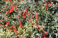 Epilobium canum 'Carmen's Grey', California Fuchsia Royalty Free Stock Photo