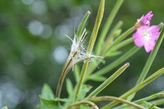 Epilobium parviflorum. Hoary willowherb and seed maturation royalty free stock photos