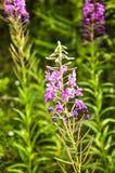 Epilobium, Sauce-hierba, sally floreciente Fotos de archivo