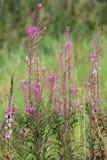 Epilobiumangustifolium, den stora willowherben, med blomningar Royaltyfri Fotografi