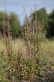 Epilobiumangustifolium, den stora willowherben, med blomningar Arkivbild