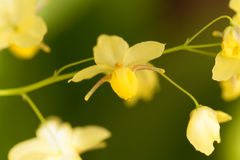 Epimedium x del Barrenwort versicolor Fotografia Stock Libera da Diritti