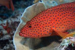 Epinefelo posteriore di corallo fotografia stock libera da diritti