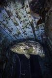 Epinefolo del Goliath sul boschetto di Spiegel nel Largo chiave Fotografia Stock