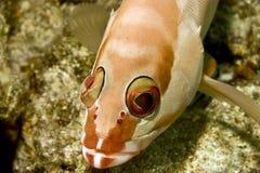 Epinefolo di Blacktip (fasciatus del Epinephelus) Fotografie Stock