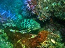 Epinefolo di corallo immagini stock