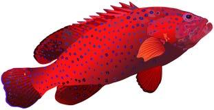 Epinefolo di corallo Immagine Stock