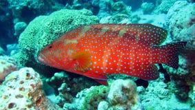 Epinefolo di corallo nel Mar Rosso dell'Egitto Fotografie Stock