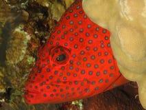 Epinefolo posteriore di corallo immagine stock
