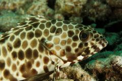 Epinephelus areolatus - Andaman Sea Stock Photos