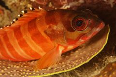 Epinephelus fasciatus - Blacktip grouper Royalty Free Stock Images