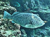 Epinephelus lanceolatus or Giant grouper or Brindle bass. stock image