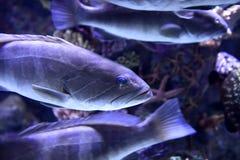 Epinephelus marginatus Stock Images