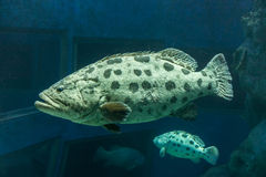Epinephelus tukula in a aquarium. It is also called Potato Cod, Potato grouper or Potato bass Stock Images