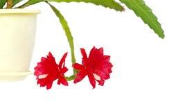 epiphyllum кактуса цветет haworth Стоковые Изображения RF