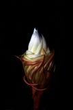 Epiphyllum Imagenes de archivo