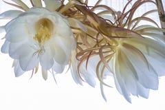 Epiphyllum blossoms Stock Image