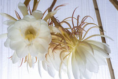 Epiphyllum blossoms Stock Photography
