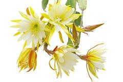 Epiphyllum Bundle. Bundle of yellow Epiphyllum flowers isolated on white background stock photos