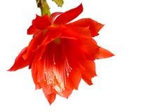 Epiphyllum, cactos de orquídea Imagens de Stock Royalty Free