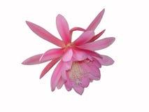 Epiphyllum cactus pink flower Stock Image
