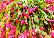 Epiphyllum crenatum,昙花 库存照片